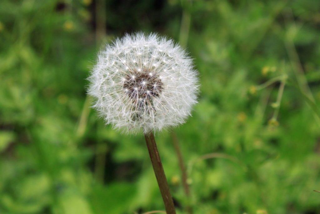 dandelion causes seasonal allergies